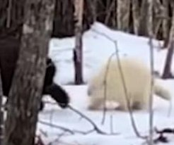 Hunter films albino porcupine in Maine woods
