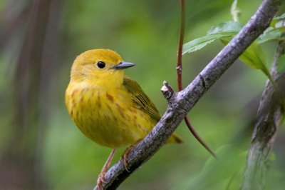 Climate change a threat to two-thirds of North American bird species