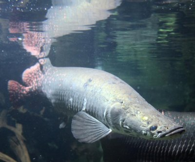 Scientists study scales that protect small Amazonian fish from piranhas