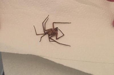 Michigan mom finds giant Australian spider in toddler's room