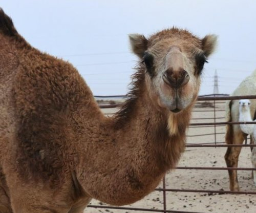 Camel tramples two people to death on Texas farm