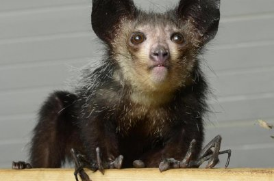 Biologists find sixth finger on aye-aye's paws