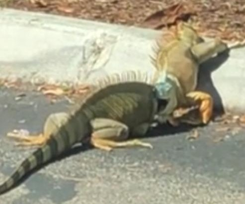 Iguanas brawl in parking lot of Florida Starbucks