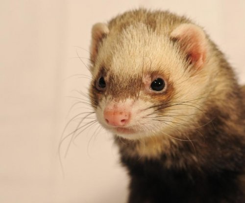 Canadian police issue ticket for wearing ferret while driving