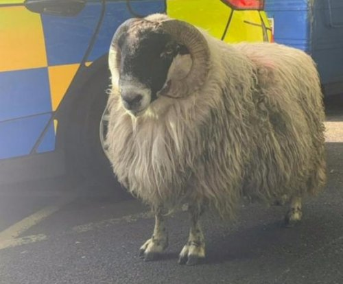 Sheep runs loose through streets, headbutts police officer