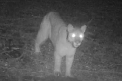 Study finds mountain lions fear voices of Rush Limbaugh and Rachel Maddow