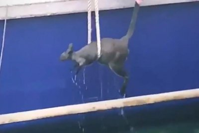 Wallaby struggling to swim hoisted from harbor by ferry crew