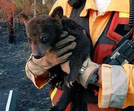 Cuddly bear cub rescued from wildfire dubbed 'Smokey Junior' by firefighters