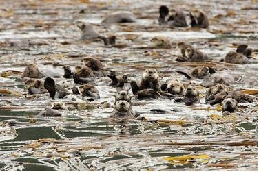 Sea otters could be climate change help