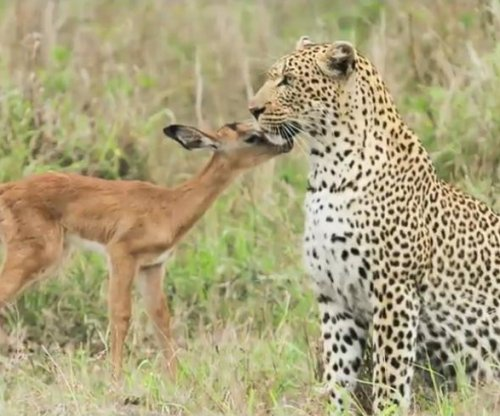 Impala and leopard caught on camera playing together