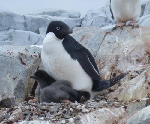 Penguin population may be halved by end of century