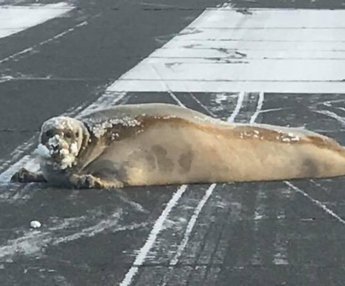 Bearded seal removed from airport after blocking runway