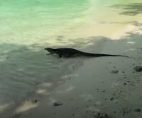 Giant water monitor lizard surprises beach visitors in Thailand