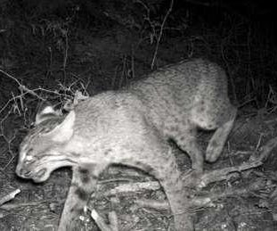 Photographs confirm presence of bobcat on Georgia's Jekyll Island