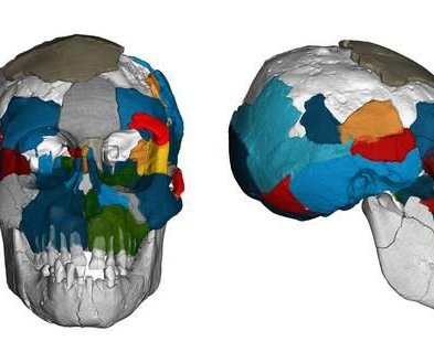 Ancient human relative Lucy's brain was surprisingly ape-like