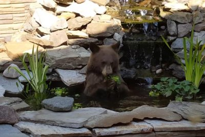 Bear lounges in koi pond, eats plants, leaves fish alone