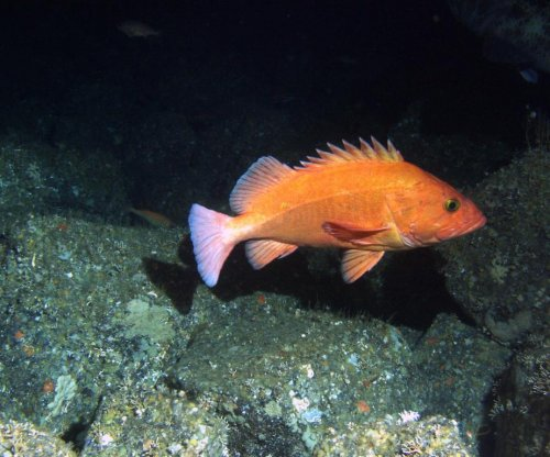 Old fish are rare in today's heavily fished oceans