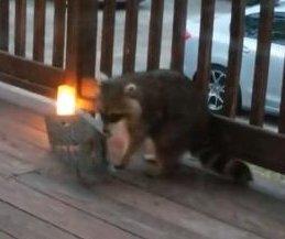 Raccoon outsmarts trap, steals sandwich