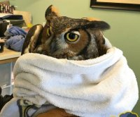 Great horned owl rescued from soccer net in Massachusetts