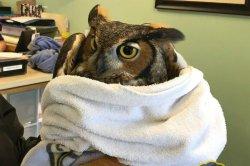 Great horned owl rescued from soccer net in Massachusetts