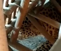 Leopard wanders into girls' hostel in India, hides under couch
