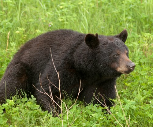 Black bear spotted in tree in Miami