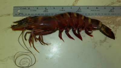 'Cannibal' shrimp in U.S. waters a worry