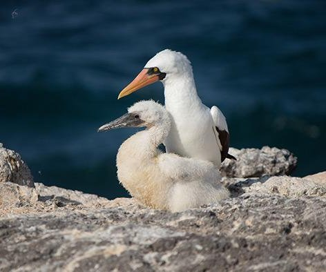 Galapagos seabird's numbers expected to shrink with ocean warming