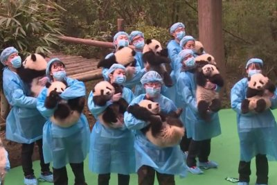 Baby pandas welcome the Lunar New Year at Chinese research base