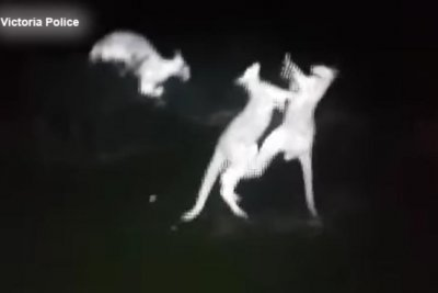 Police helicopter captures infrared video of fighting kangaroos