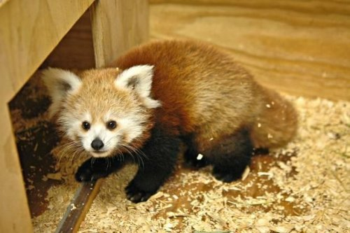 Red panda named for Kevin Durant