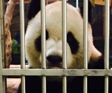 Taiwan zoo photographs panda with newspapers to disprove death rumors