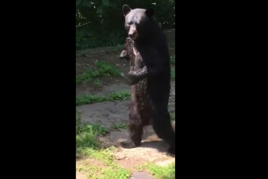 bipedal bear new jersey