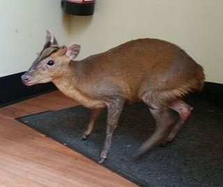 Young deer rescued after wandering into coffee shop