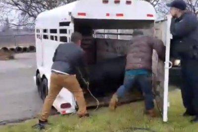 Escaped bull makes a swim for it in Illinois