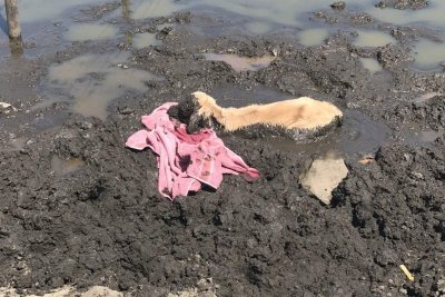 Calf stranded in muddy pond rescued from drowning