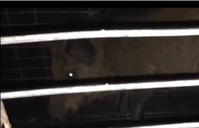 Hogs threaten Florida neighborhood's Halloween