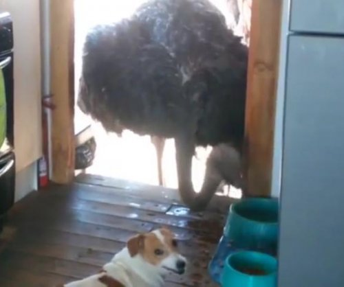 Ostrich pokes head into kitchen to steal food from dogs