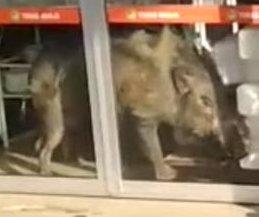 Wild boar wanders into Malaysian grocery store