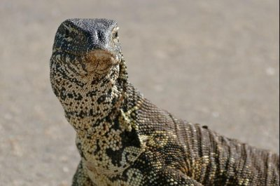 Louisiana man warns of large lizard on the loose