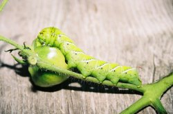 Electrical security system helps tomato plants sound alarm when insects attack