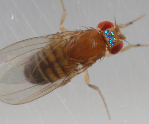Scientists image brain activity in freely walking fruit fly