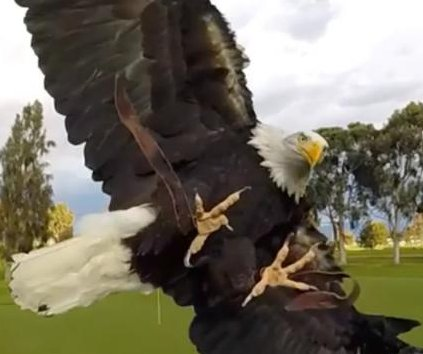 Eagle shows precision landing skills in slow-motion video