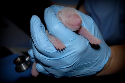 National Zoo's giant panda cub gets clean bill of health