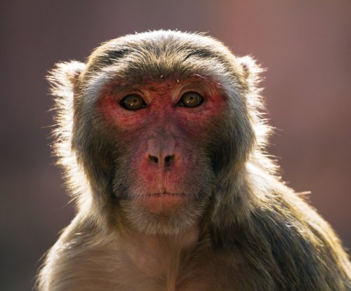 Monkeys have the vocal tools but not the brain power for language