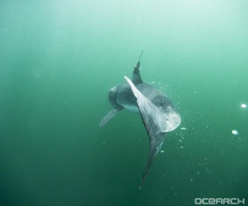 Biologists locate baby white sharks' hangout in North Atlantic