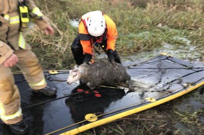 Flock of sheep rescued from river in England