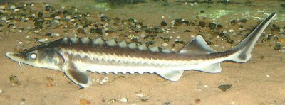 Extinction risk prompts ban on fishing for caviar-producing sturgeon