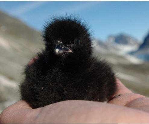 Stressed seabirds not concerned with offspring, study says