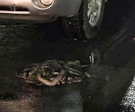 Police round up 40 snakes dumped in Arkansas Walmart parking lot
